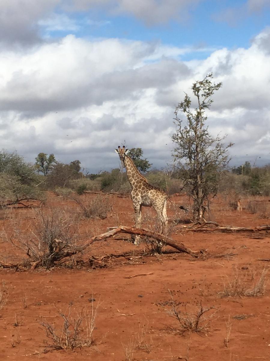 Giraffe, Zimbabwe, Africa, Flying Camera Company, Drone, Filming, Natural History,